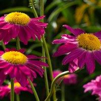 Летние цветы :: Светлана Григорьева