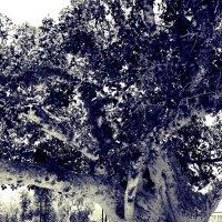 В тени древнего сикомора :: Ирина Сивовол