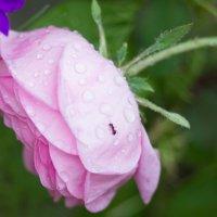 роза с муравьишкой :: Дина Горбачева