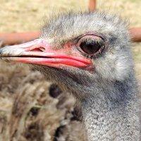 Глаз страуса весит больше мозга!!! :: Наталья Лебедева