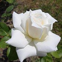 Белой  розы   красота чарует  дивной  чистотой :: Елена Павлова (Смолова)