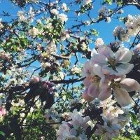 Яблоня в цвету :: Екатерина Новикова