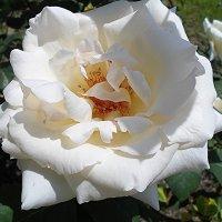 Белая роза во все времена символ невинности и Божества :: Елена Смолова
