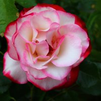Роза 3 :: Uliya T