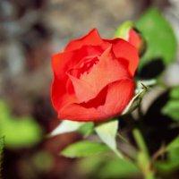 Алая роза :: Кристина
