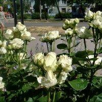 Белые розы, белые розы... :: Нина Корешкова