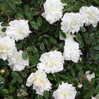 За красоту мы любим розы, их дивный запах, аромат.... :: Елена Павлова (Смолова)