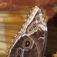 Бабочка на апельсине :: Алексей Корнеев