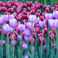 Тюльпаны - ангелы с небес :: Валентина Данилова