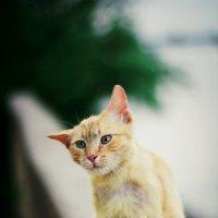 Дворовый кот :: Ксения Сутырина
