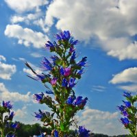 """Напитай меня красками, лето. Очаруй синевою небес."" :: Galina Dzubina"