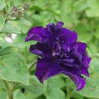 Фиолетовая махровая петунья :: Елена Павлова (Смолова)