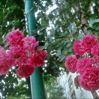 Два ароматных букета с куста плетистых роз... :: Нина Корешкова