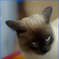 Нарцисс-из серии кошки очарование моё :: Shmual Hava Retro