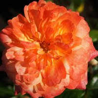 Цветочная красавица взор ласково пленит :: Елена Павлова (Смолова)