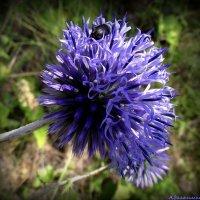Цветок мордовника шароголового :: Андрей Заломленков