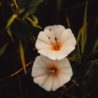 Цветочки :: Anastasia Silver