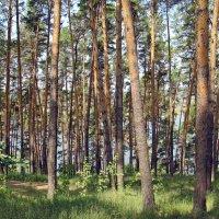Сосны на берегу реки Белой :: Вера Щукина