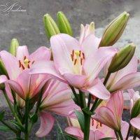 Розовые лилии :: °•●Елена●•° Аникина♀