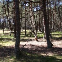 Танцующий лес :: Алексей Грознов
