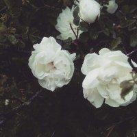 canker-bloom (mobile photos) :: Василиса Керн