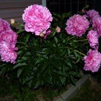 В тишине ночной цветут пионы...... :: Galina Leskova