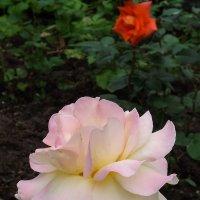 Розы :: Виктор Киселев
