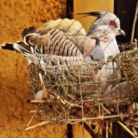 Хохлатый голубь :: Nikolay Monahov