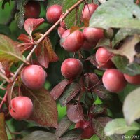 Райские яблочки :: Виктор Марченко