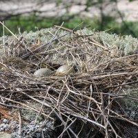 Чайка и её гнездо (фото 2) :: Александр Володарский
