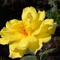 желтая роза :: Александр Шихин