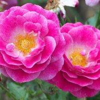 """Чайно гибридная роза """"Violette parfumée"""" :: Swetlana V"""