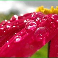 Капли и цветок. :: Владимир Гилясев