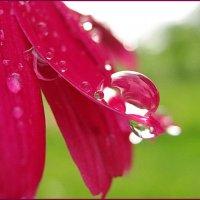Капля и цветок. :: Владимир Гилясев
