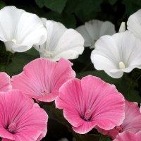 Бело-розовое настроение... :: Тамара (st.tamara)