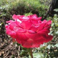 Роза... :: Анастасия Орлова