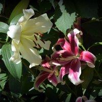 Лилия – цветок с особым блеском. Королевский символ, не цветок. :: Anna Gornostayeva