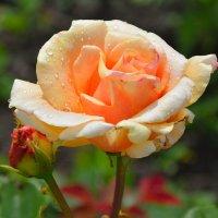 Розы в нашем саду (этюд 2) :: Константин Жирнов