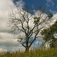 Сухое дерево :: Игорь Вишняков