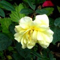 Светложёлтая роза :: Лебедев Виктор