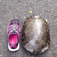 Большая черепаха на дороге... :: Елена