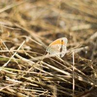 Бабочка :: Елена Нор