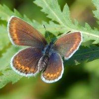 Бабочка :: Вероника