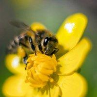 пчёлка :: S. Basov