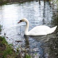 Лебедь :: S. Basov