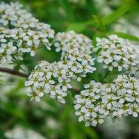 Пора цветения... :: марк
