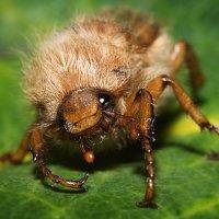 Пушистый жук :: Юлия Хапугина