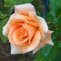 как хороши, как свежи были розы 1 :: Galina