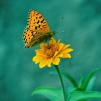 Цветок -как бабочка,а бабочка -цветок :: galina tihonova