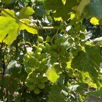 Вызревает виноградный сок (крепленый) :: Александр Скамо